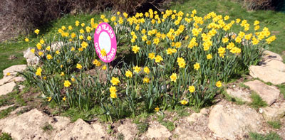 Cott Road flower bed with daffodils